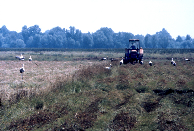 The fields are mowed slowly, over a number of weeks and the stork population is fed thereby, and other species are able to move so a bio-diverse meadow system stays intact.